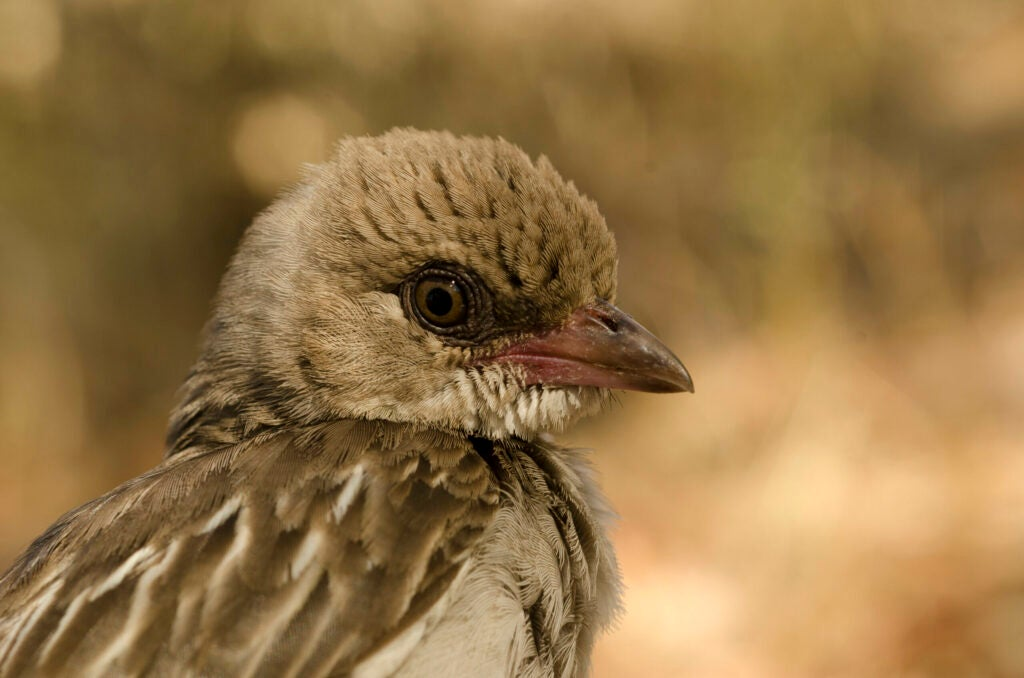 A female greater honeyguide.