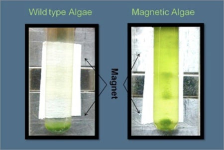 Genetically Modified Algae Are Magnetic, For Ease of Manipulation