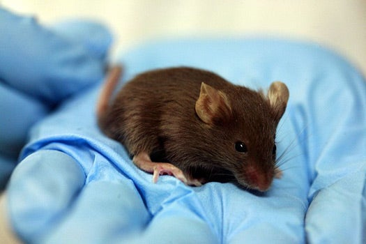 Brain-Enhancing Drug Shown to Greatly Improve Mouse's Memory