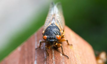 Why cicadas are showing up in your yard four years early