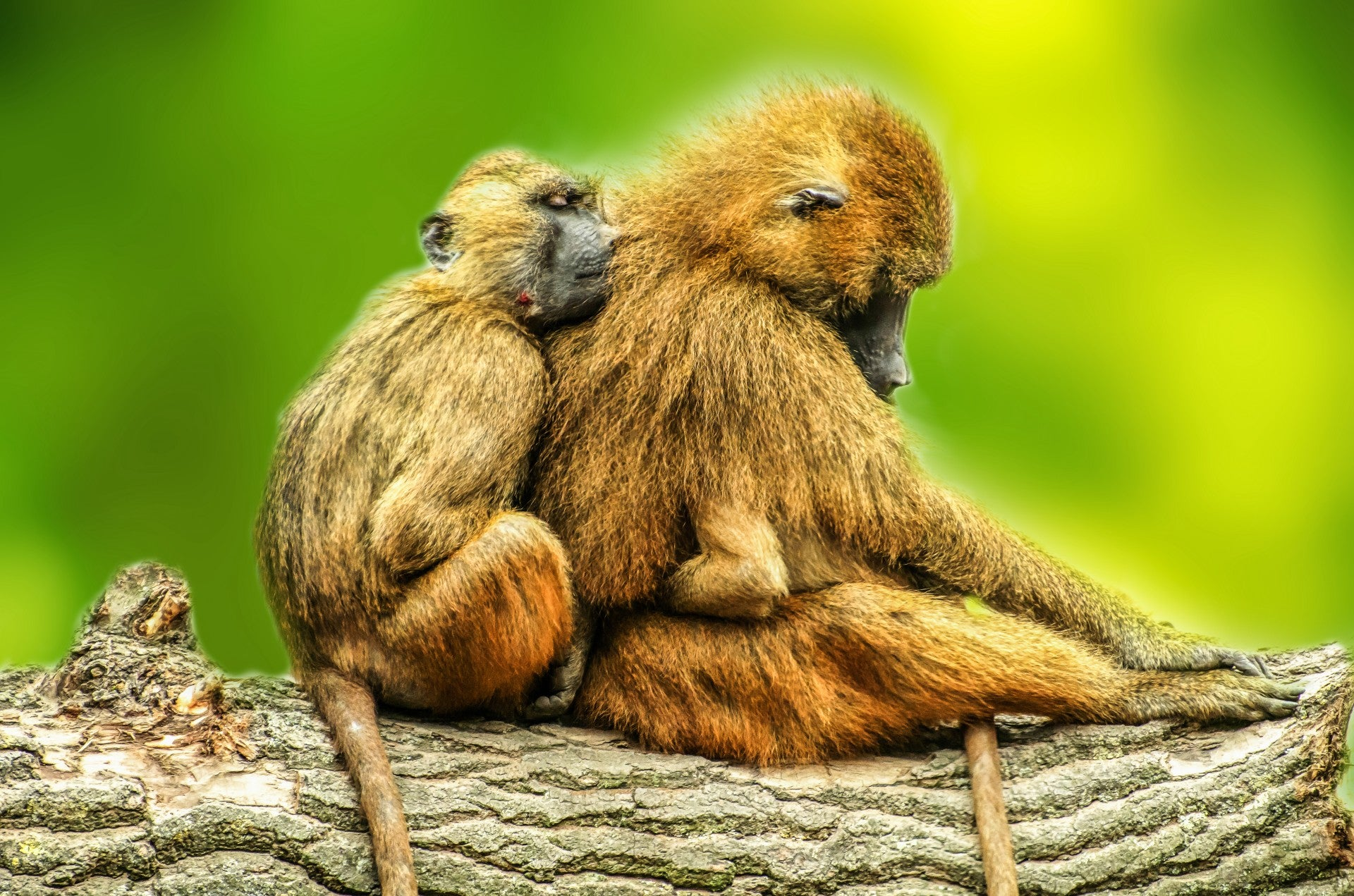 These freaky baboon shrieks could push back the evolution of speech