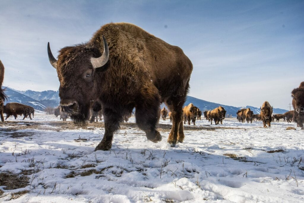 The American plains bison, once numbering in the tens of millions, began its journey back from the brink of extinction more than a century ago when just two dozen survivors were given refuge in Yellowstone National Park. Today some of their wild and free-