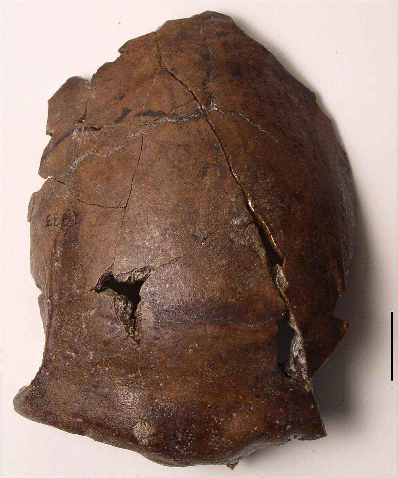 This lonely human skull might belong to an ancient tsunami victim
