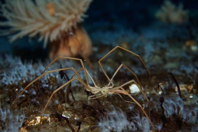 Sea spiders use their guts to pump oxygen through their freaky little bodies