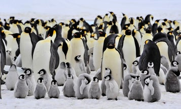 Most male Emperor penguins fast for 115 days—but a few of them may sneak snacks