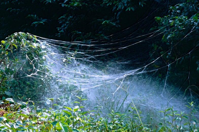 Social Spiders Anelosimus eximius web system