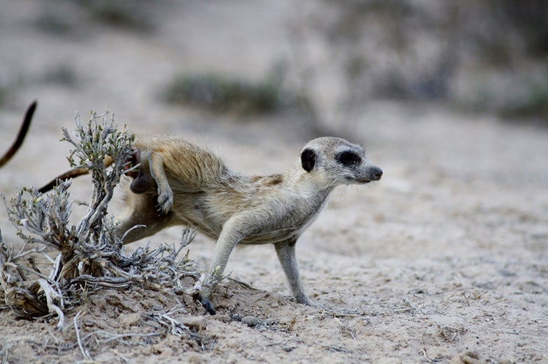 Meerkat anal pouch