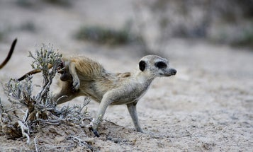 Meerkats use bacteria from their butts to make stinky graffiti