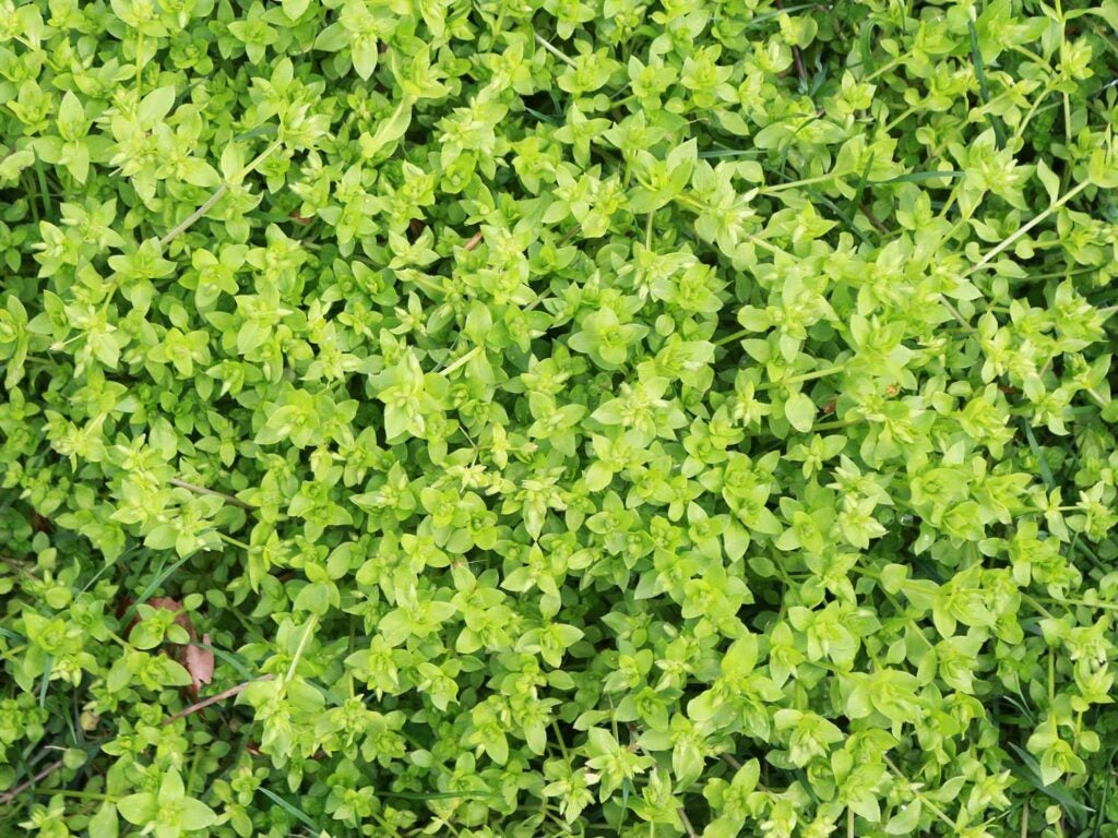 a patch of Chickweed, *Stellaria media*