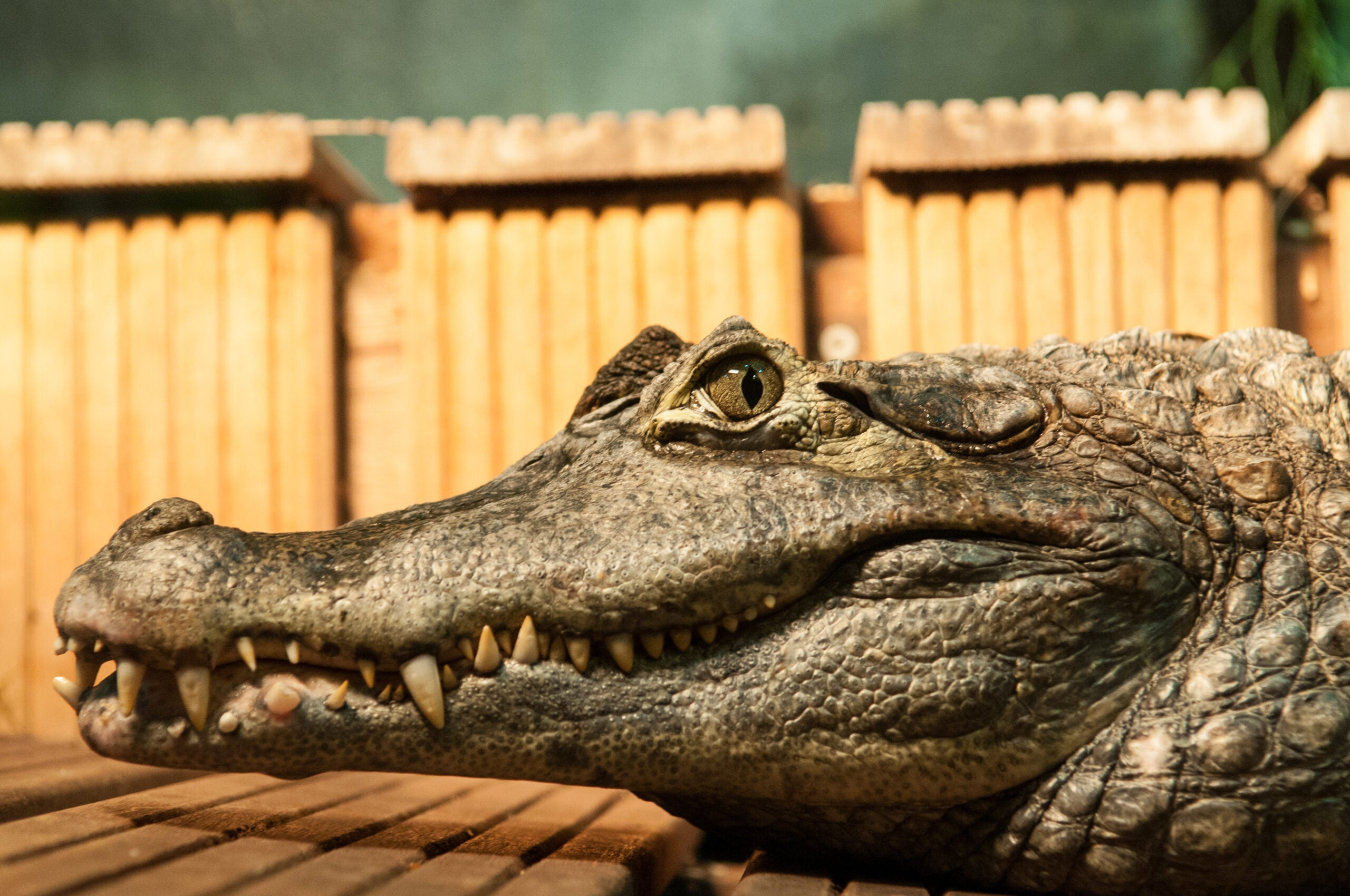 Are Crocodiles Secret Fruit-Lovers?