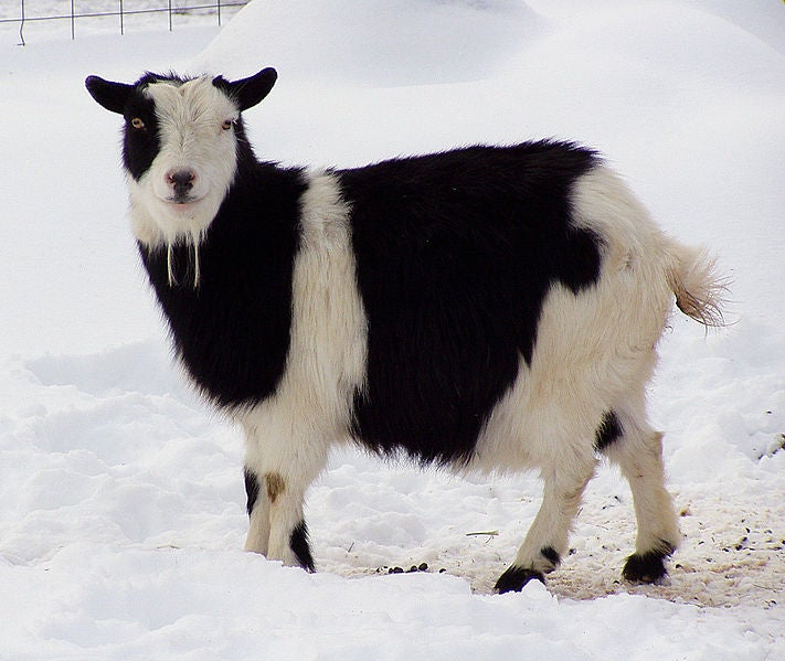 Here You Will Find A Livestream With Nigerian Dwarf Goats