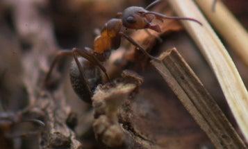 A Biologist Tracks Ants With Teeny Radio Tags