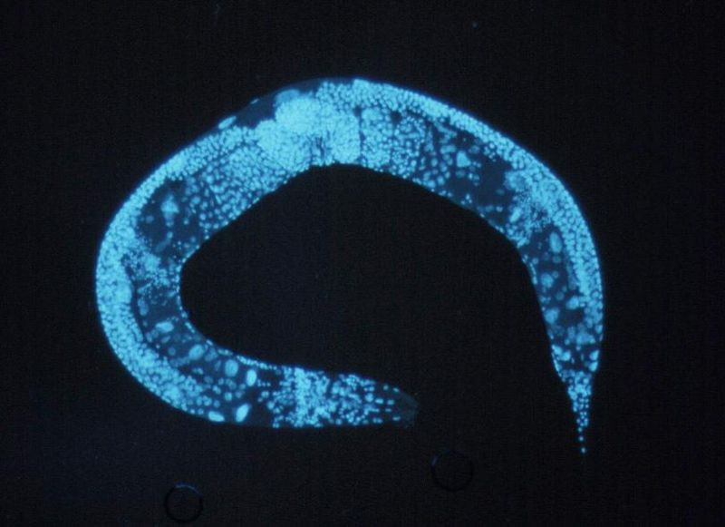 Tweaking One Enzyme Doubles A Worm's Lifespan