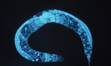 Antidepressants Extend The Lives Of Roundworms By Flipping Genetic Switches