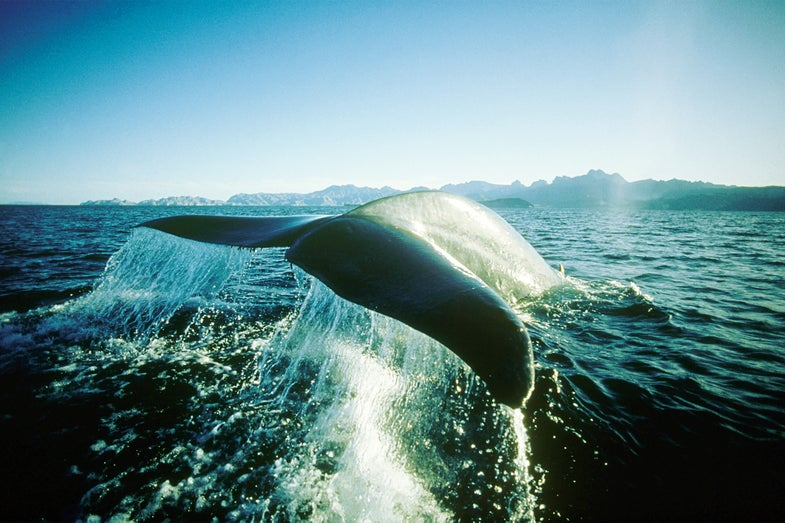What We Can Learn About A Whale From Its Earwax