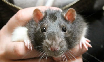 Rats Recognize The Facial Expressions Of Other Rats