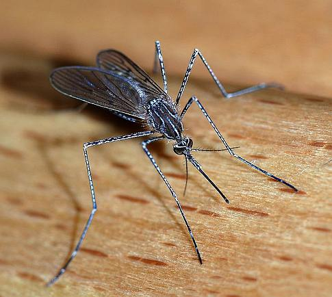 The Sound of Mosquitoes in Love