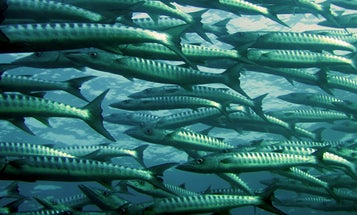 Warming seas are robbing some fish of their vital sense of smell