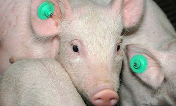 Japanese Scientist May Have To Grow His Human Organs In American Pigs
