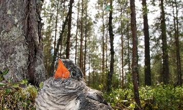 Russian cuckoos are taking over Alaska