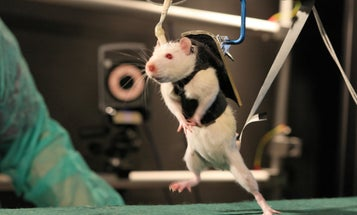 Video: After Robot-Assisted Rehab and a Dose of Chemicals, Paralyzed Rats Walk Again