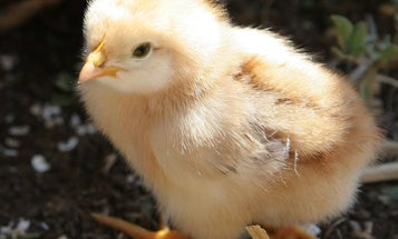 Baby Chicks Reject Escher-esque Impossible Shapes