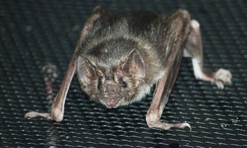Vampire Bats Might Enjoy Brussels Sprouts