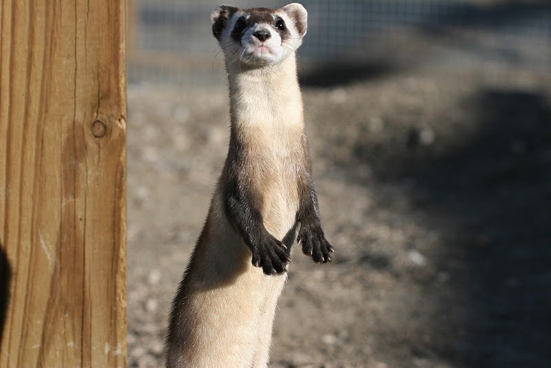 To Save Black-Footed Ferrets, Scientists Will Bring Back DNA From Frozen Specimens