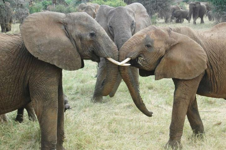 Elephant Social Networks Remain Strong In The Face of Poaching