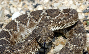 In First Clinical Trial, Unemployed Rattlesnakes Find Work as Cancer-Fighters