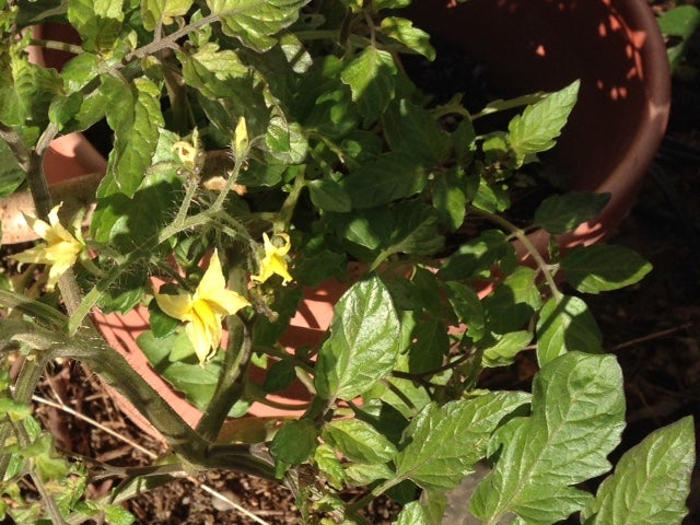 December flowers on a tomato plant in Napa County, California