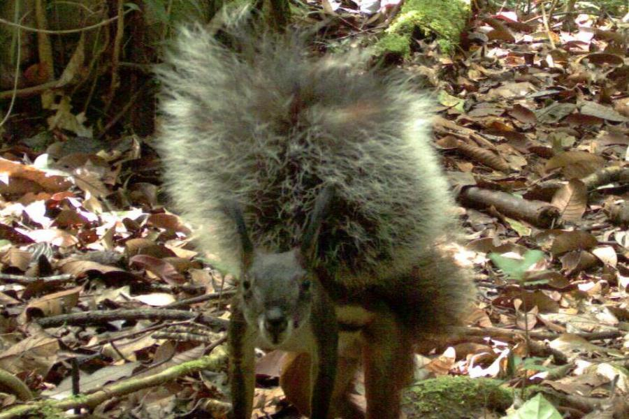 This Squirrel Breaks Record For Tail Size… And May Eat Deer's Hearts