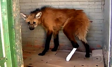 Injured Brazilian Wolf Is First Wild Animal Treated With Stem Cells