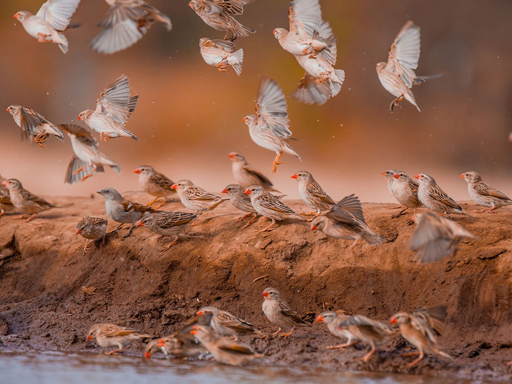 Red-billed Quelea and one Southern Gray headed Sparrow