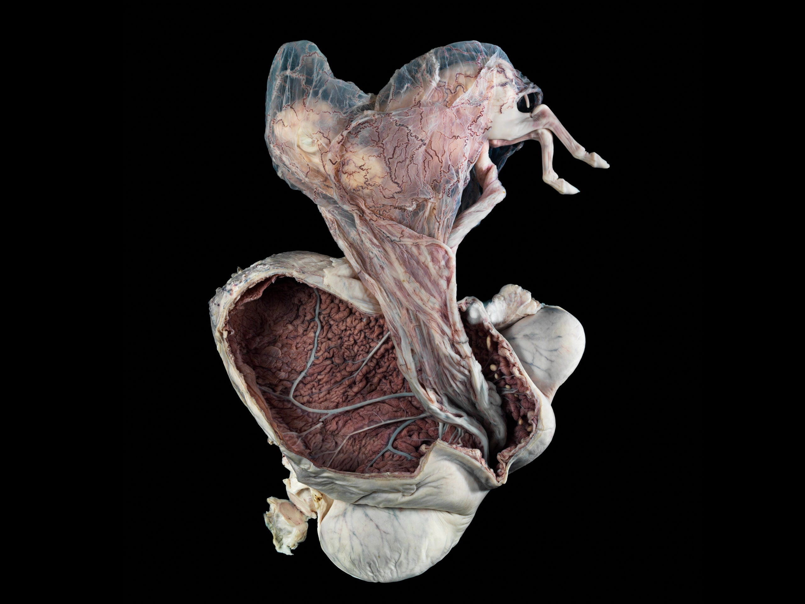 This Photo Of A Pregnant Pony Uterus Just Won A Wellcome Award