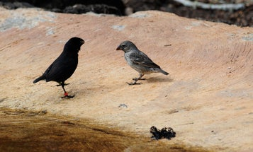 Maggots Raised On Chicken Blood Could Save Darwin's Finches