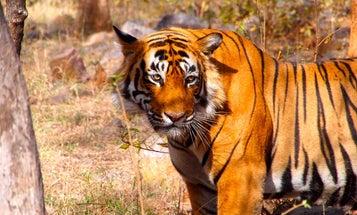 Indian National Park Setting Up Radar Network To Protect Tigers — And Humans