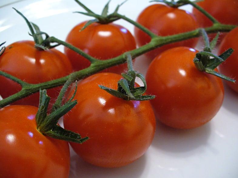 Better Tomatoes Via a Fertilizer of…Human Urine?