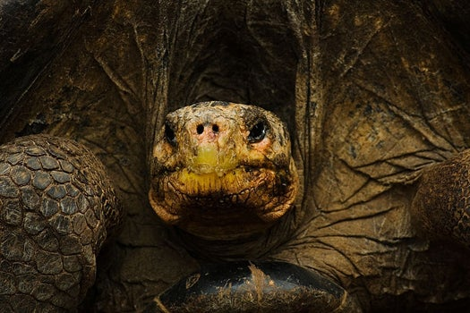 A Famous Pianist Serenades Endangered Tortoises, To Get Them In The Mood