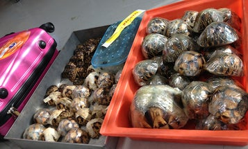 Man Caught Smuggling More Than 10 Percent Of An Entire Species