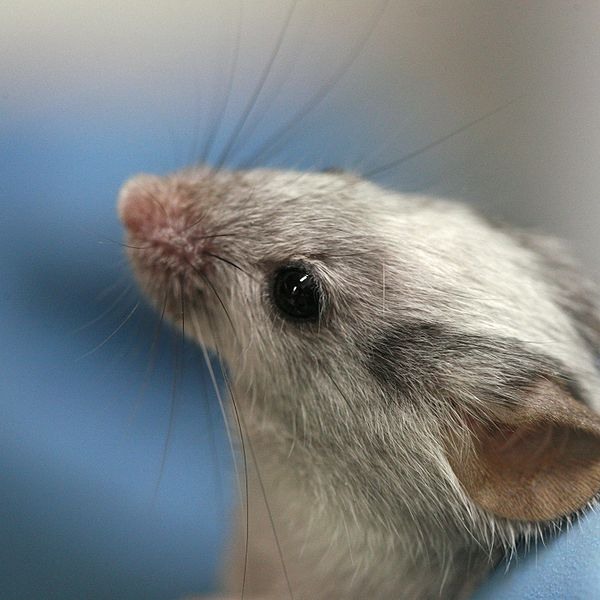First Successful Use of Genome Editing In Living Animals Cures Hemophilia In Mice