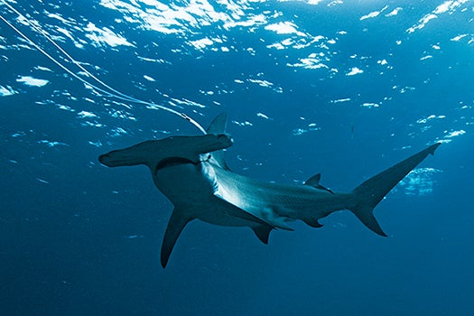 Shark Attacks On Humans Vs. Human Attacks On Sharks [Infographic]