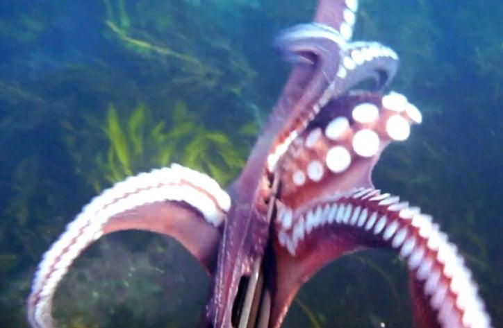 Video: Octopus Guerrilla Filmmaker Steals Diver's Digicam