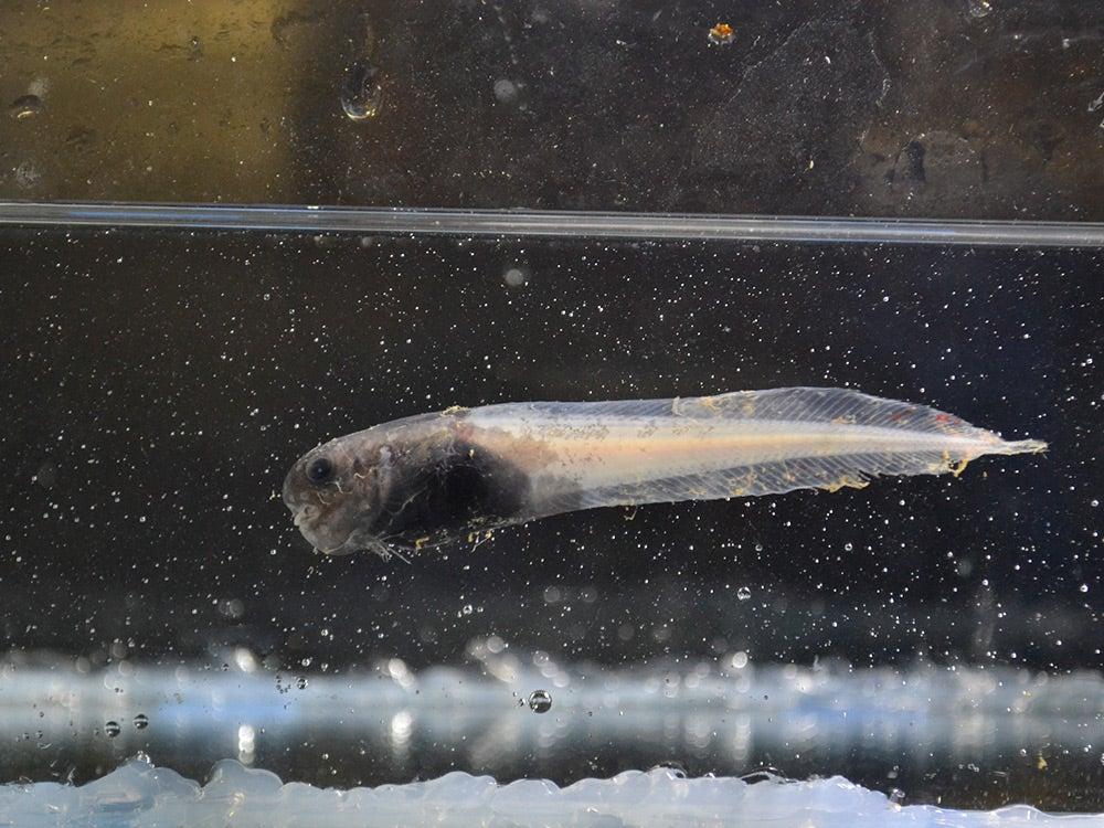 sickly snailfish