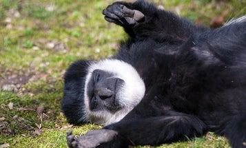 Five reasons to celebrate Colobus Day