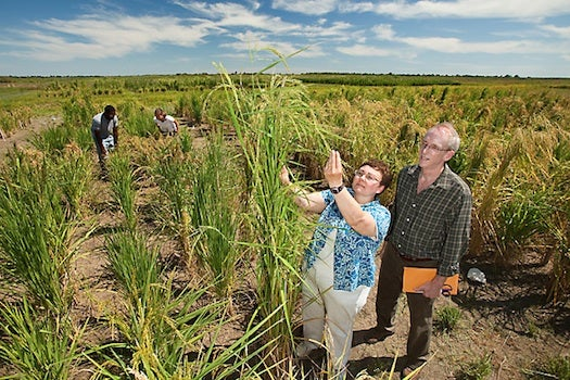 USDA Aims To Grow White Rice With All The Nutrients Of Brown Rice