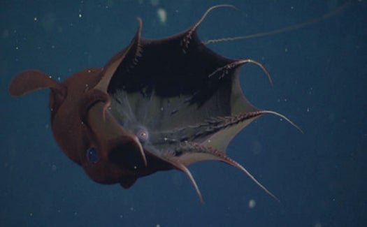 Mythbusting: The Vampire Squid Is Not A Lethal Ocean Predator