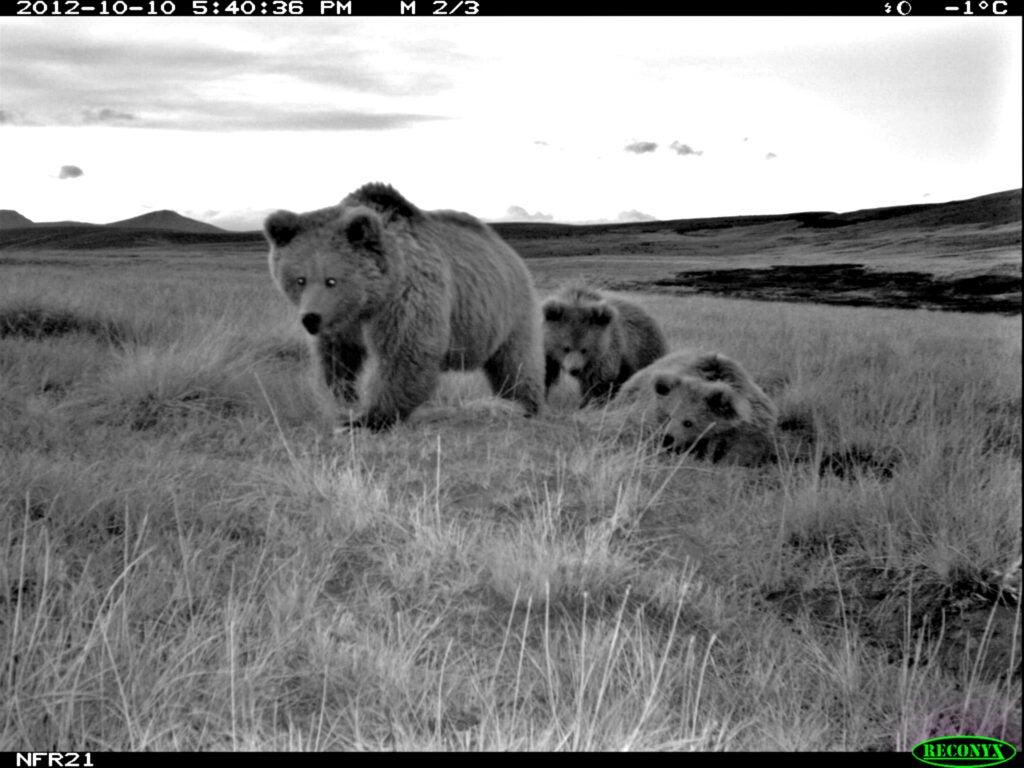 female himalayan bear with cubs