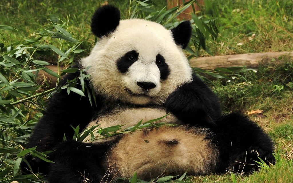 Pandas, which are basically giant poop machines, may inadvertently help save other species