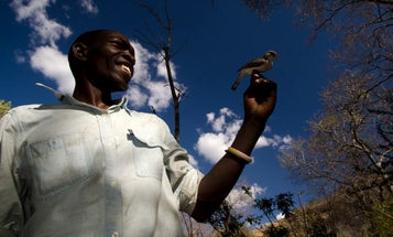 Birds And Humans 'Talk' To Each Other To Outsmart Bees